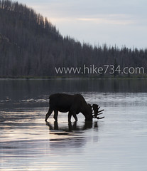"""Moose in Red Eagle Lake • <a style=""""font-size:0.8em;"""" href=""""http://www.flickr.com/photos/63501323@N07/6921354485/"""" target=""""_blank"""">View on Flickr</a>"""