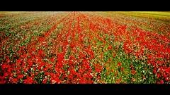 Altrove  sempre un posto migliore di dove siamo. (Ska * mon) Tags: flowers red verde green field yellow giallo poppies campo fiori rosso prato papaveri
