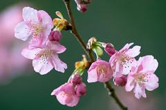 My cherry tree bloomed! :D (-TommyTsutsui- [nextBlessing]) Tags: pink winter flower tree green nature japan garden cherry nikon purple blossom    izu  nikkor70300 kawazuzakura