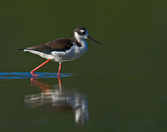 Immature Black-necked Stilt (Canter Photography) Tags: bird nature nikon blackneckedstilt himantopusmexicanus wildlife stilts shorebird 600mmf4 14teleconverter nikond3s allofnatureswildlifelevel1 allofnatureswildlifelevel2 allofnatureswildlifelevel3 allofnatureswildlifelevel4 allofnatureswildlifelevel5 allofnatureswildlifelevel8 allofnatureswildlifelevel6 allofnatureswildlifelevel7 allofnatureswildlifelevel9 me2youphotographylevel2 me2youphotographylevel1