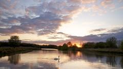 Relaxed evening (Harm Weitering) Tags: sunset sky lake reflection clouds swan zonsondergang meer wolken reflect lucht emmen zwaan rietplas