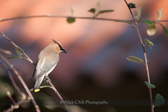 Devilishly Handsome Waxwing (Nick Chill Photography) Tags: california bird nature animal fauna photography nikon sandiego wildlife fineart cedarwaxwing animalia avian santee bombycillacedrorum perching stockimage bombycillidae mastpark avianexcellence d300s sigma150500mm nickchill