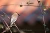 Devilishly Handsome Waxwing (Nick Chill Photography) Tags: california bird nature animal fauna photography nikon sandiego wildlife fineart cedarwaxwing animalia avian santee bombycillacedrorum perching stockimage bombycillidae mastpark avianexcellence d300s sigma150500mm nickchill
