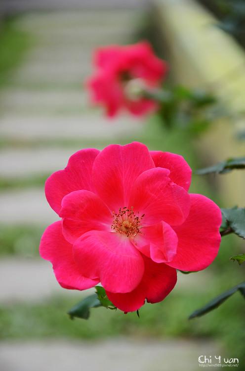2012士林官邸玫瑰季23.jpg