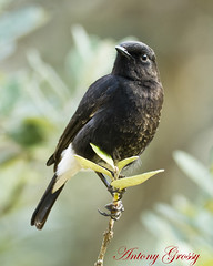 Pied Indian Bushchat