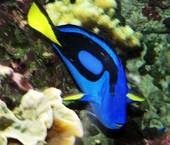 pacific blue tang dory  pacific blue tang coral ...