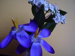 Feb 2012 233 Crocus and Viburnum (monica_meeneghan) Tags: flowers winter stilllife nature petals ngc npc coloursoftheheart mamasbloomers coth5 naturescarousel fleursetpaysages monicameeneghan