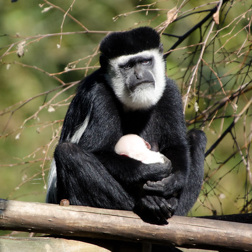 A Sad monkey with a baby in Emmen