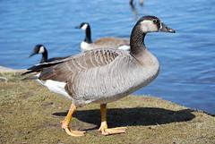 Graylag-Canada Goose hybrid