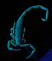 Arizona Bark Scorpion - Centruroides sculpturatus (Bryan    Doty) Tags: light arizona black macro bug insect long exposure glow scorpion blacklight bark glowing bryandoty sort5