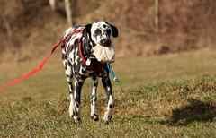 Dummytraining (blumenbiene) Tags: dog playing female training search young hund dummy dalmatian hunde dalmatiner hndin suchspiel dalmatinac dummytraining junghund