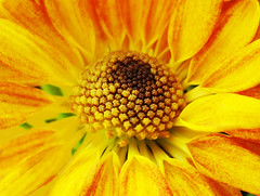 Mantle and Core (osvaldoeaf) Tags: flowers brazil orange flores flower macro nature beauty up yellow fleurs garden petals spring close flor fiori mantle core goinia gois wonderfulworldofflowers
