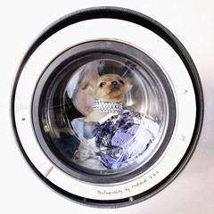 LEO, where are youuuuu? (MAIKA 777) Tags: dog chien chihuahua méxico puppy flickr perro cachorro getty washingmachine chiot washer gos gettyimages cucciolo lavadora welpen lavelinge lavatrice rentadora chihuahueño canon24105mmf4lisusm img5474 canoneos5dmarkii maika777 loquetedigalarubia chihuahualonghaired chihuahuadepelolargo
