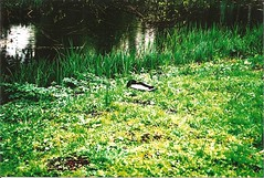 living for a thrill (ellezero) Tags: lake cute green film nature grass animal analog 35mm duck 135 botanicgarden