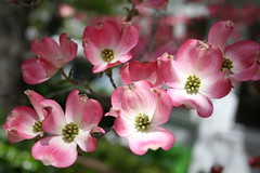 Pink Dogwood (qorp38) Tags: pink blossoms dogwood
