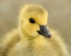 Sweetness (J Bespoy Photography) Tags: portrait baby canada cute bird yellow closeup bc sweet britishcolumbia ngc goose burnaby gosling gettyimages tc14eii burnabylake allrightsreserved specanimal abigfave nikkor70200f28vrii blinkagain bestofblinkwinners