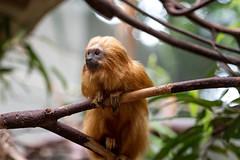 Mini Monkey (drefsmichael) Tags: animal canon zoo tele heidelberg tier heidelberger 70d