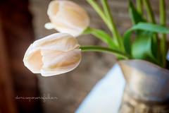 Barely Peach (Singing Like Cicadas) Tags: flowers light vacation stilllife easter spring tulips westvirginia april appalachia harman 2014 randolphcounty onethousandgifts