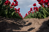 tulip II (beta karel) Tags: flowers blue red sky cloud flower green spring tulips tulip agriculture polder almere tulpen 2014 tulp ©betakarel tulipii