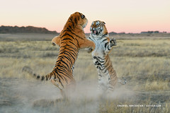 Territorial Dispute (Marsel van Oosten) Tags: africa danger cat southafrica photography big fight dangerous power wildlife tiger attack conservation battle safari workshop violence endangered fighting predator tigris claws carnivore brutal attacking violent marsel panthera phototrips phototours marselvanoosten squiver
