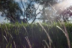 illuminating the lalangs (mohamedyamin_masop) Tags: leica light sun me field grass bokeh flare lalang
