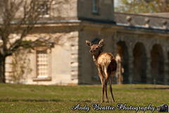 2016-05-04-025 (Andy Beattie Photography) Tags: uk england nature mammal photography europe photographer wildlife yorkshire deer halifax ungulate reddeer northyorkshire westyorkshire ripon eventoed pecora cervuselaphus hoofed andybeattie andybeattiephotography