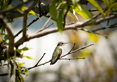 Female Ruby Throated Hummingbird (jsax2015) Tags: new york green bird nature canon backyard hummingbird outdoor wildlife small perch t5 birdwatch rubythroatedhummingbird birdshare