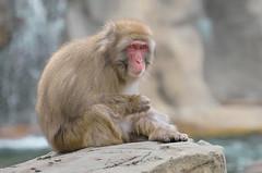 Snow Monkey (marypink) Tags: mammalia primates snowmonkey japanesemacaque 70300mmf456 macacafuscata cercopithecidae nihonzaru macacodallafacciarossa nikond7200