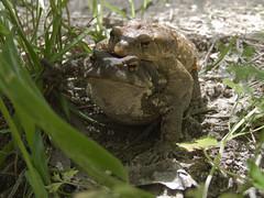 Pillados (asinquecualo) Tags: life naturaleza brown verde green primavera nature animal amor natur vida sapo airelibre buffo marrn reproduccin
