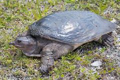 B36C5363 (WolfeMcKeel) Tags: road park vacation keys spring key florida turtle wildlife national everglades largo warming basking bask softshelled sunning 2016 floridakeys2016vacationspring