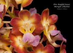 Perreiraara [Rhynchorides] Bangkok Sunset 'Morright' AM/AOS (Orchidelique) Tags: plant orchid nature am award aer van aos aerides prra perreiraara ncos awardofmerit bangkoksunset ncjc houlletiana jmorris vandachostylis rhrds rhynchorides morright 20151151