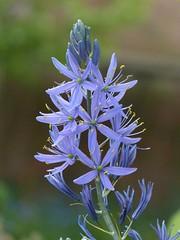Camassia (joeke pieters) Tags: flower garden bokeh ngc npc tuin bloem camassia platinumheartaward panasonicdmcfz150 1270254