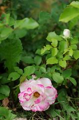 Cherry Parfait rose (Niki Gunn) Tags: macro rose pentax may tamron 90mm k5 tamron90mm 2016 tamron90mmf28 tamron90mmmacro tamronspaf90mmf28