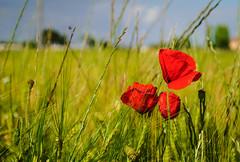 Las tres amapolas (Jess Vegue) Tags: espaa flores europa es ciudadreal castillalamancha