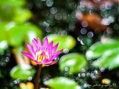 () Tags: macro waterlily takumar bokeh olympus 55mm f18 18 55  omd em1  m43 supertakumar55mmf18 micro43 microfourthirds olympusem1