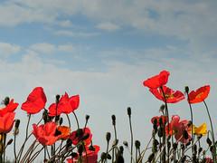 DSCN6105 (papamillo) Tags: flower primavera spring nikon poppies coolpix fiori colori papaveri doublefantasy flowerscolors p520 papamillo