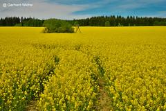 Rapsfeld mit grner Insel (GerWi) Tags: sky nature field forest spur outdoor natur pflanze feld himmel rape landschaft wald raps hochsitz rapsfeld heiter ackersenf