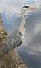 Grey heron (John Steedman) Tags: uk greatbritain england london heron unitedkingdom ardeacinerea greyheron grossbritannien     grandebretagne