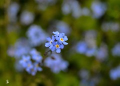 _DSC1382  Myosotis (Le To) Tags: flowers nature fleurs nikon bokeh bleu fiori cosmos effetbokeh nikond5000