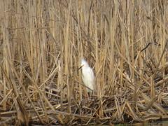 Snowy Egret by SpeedyJR (SpeedyJR) Tags: cowlesbogduneacresin 2016janicerodriguez snowyegret egrets birds wildlife nature cowlesbog duneacresindiana indiana speedyjr