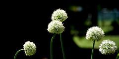 Fleurs d'ail (Diegojack) Tags: fleurs nikon parc boules plantes morges blanches indpendance nikonpassion d7200