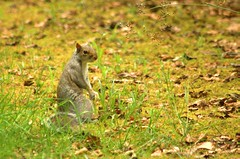 The Gray Man (johndunlop17) Tags: castle gardens squirrel gray kennedy