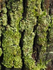 Musgo en tronco (Belerofonte3000) Tags: naturaleza macro musgo tronco corteza