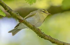 JWL8348  Wood Warbler..... (jefflack Wildlife&Nature) Tags: nature birds animal countryside woodlands wildlife avian warbler wildbirds warblers woodwarbler