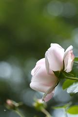 IMG_0460.jpg (carolina b. fotografie) Tags: nature rose garden dof bokeh natuur roos tuin