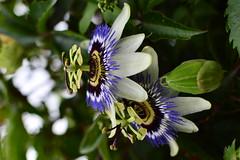 Passiflore (Hélèna du 40) Tags: fleur dax landes fruitdelapassion