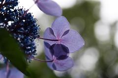 -682 (Mio:D) Tags: flower hydrangea  ise