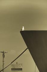 Highbrow (Raggedjack1) Tags: sepia cornwall ship seagull bow penzance herringgull