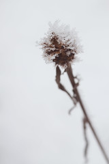 Bleak midwinter (rachaeldh777) Tags: winter snow plant ice frost outdoor depthoffield seedhead bleak icecrystal