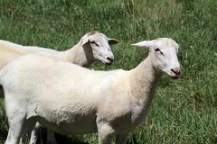 Bucket lambs (baalands) Tags: hair bucket sheep farm lambs dairy katahdin ewe crossbred lacaune